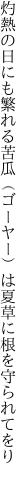 灼熱の日にも繁れる苦瓜(ゴーヤー)は 夏草に根を守られてをり