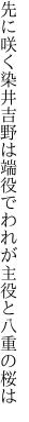 先に咲く染井吉野は端役で われが主役と八重の桜は