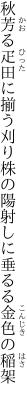 秋芳る疋田に揃う刈り株の 陽射しに垂るる金色の稲架